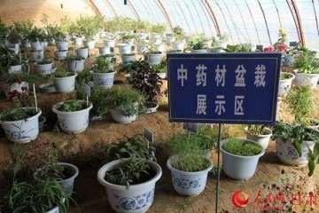 中药材室内盆栽怎么盆钵选用 图片