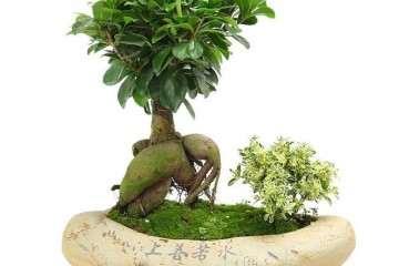 环境因子对盆栽人参榕生长发育的影响