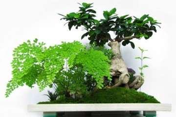 为什么人参榕盆栽管理温度不能低于13℃
