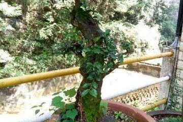 黄葛树盆景怎么浇水的方法 图片