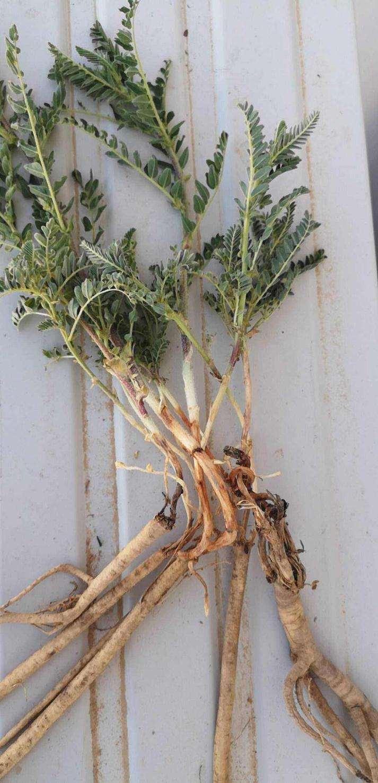 黄芪盆栽根腐病怎么防治的方法 图片