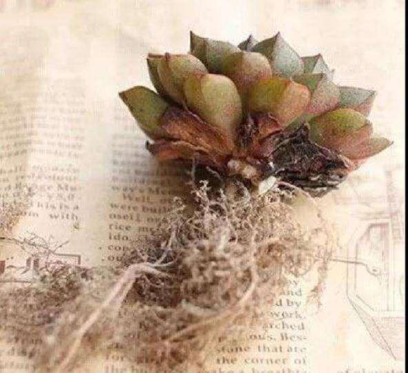多肉植物怎么防治根粉蚧壳虫