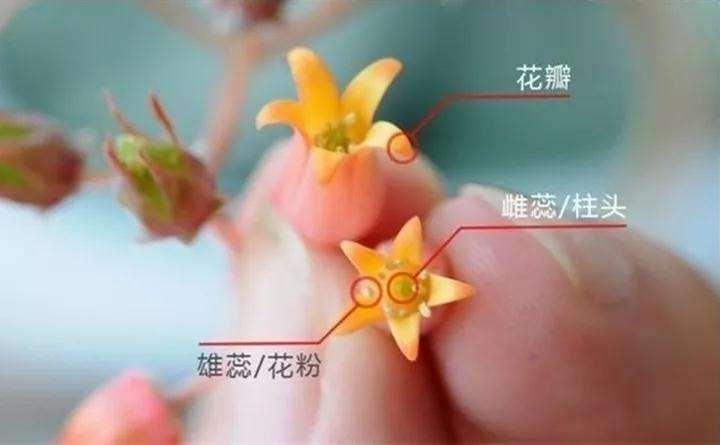 开花的多肉植物怎么留种子的方法 图片