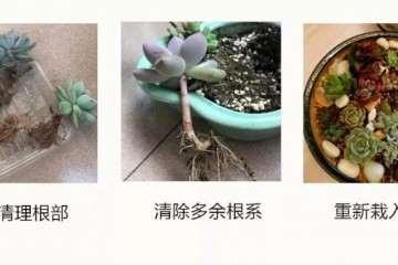春季多肉植物怎么扦插换盆的方法 图片