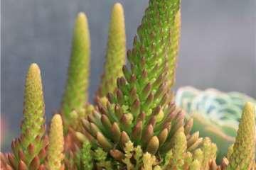 为什么这5种多肉植物开花后容易死 图片