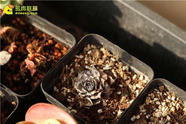 为什么多肉植物 死在秋天