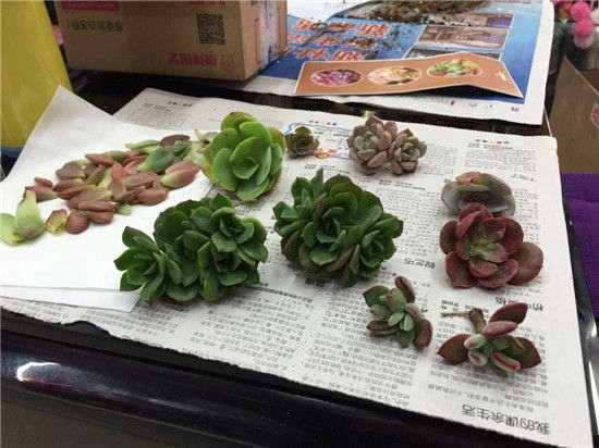 网购的多肉植物有蔫软的状态 怎么办