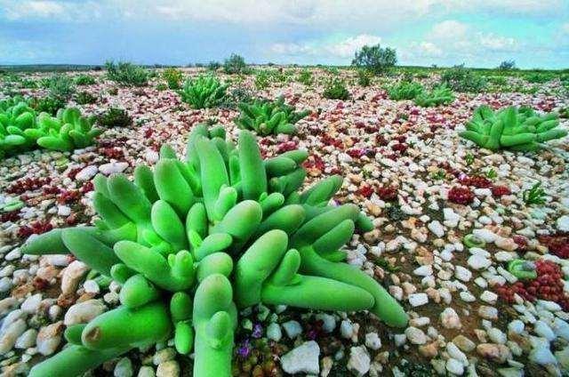 为什么沙漠植物大多都是多肉植物