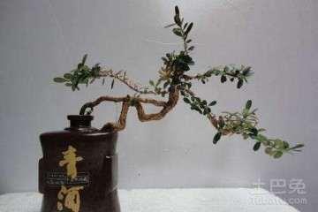 为什么黄葛树适宜制作悬崖盆景 图片