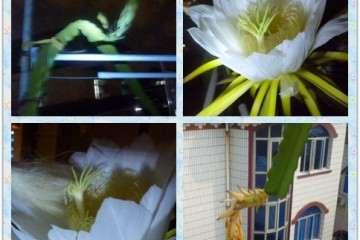 火龙果多肉怎么开花授粉的方法 图片