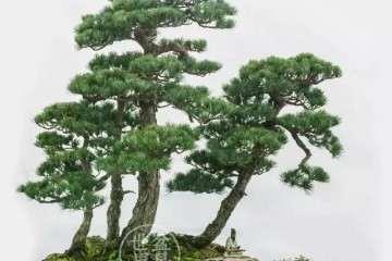 山东青年盆景艺术家 张志刚 图片
