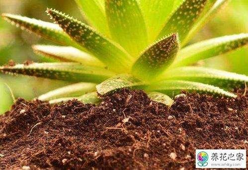 怎么椰糠制作多肉植物的方法 图片