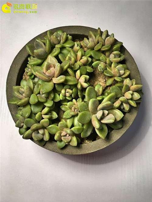 上海怎么养护多肉植物的经验 图片