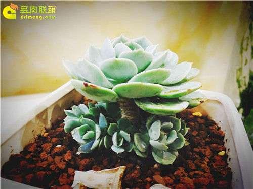 广东怎么养多肉植物的经历 图片