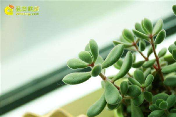 室内养护的多肉植物