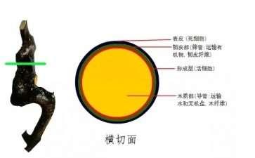 金弹子下山桩怎么生长的过程 图片