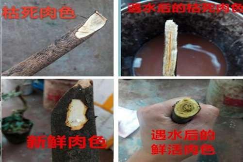 金弹子下山桩怎么生根种植