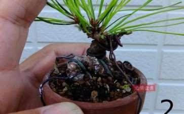 图解 微型赤松盆景怎么修根上盆的方法