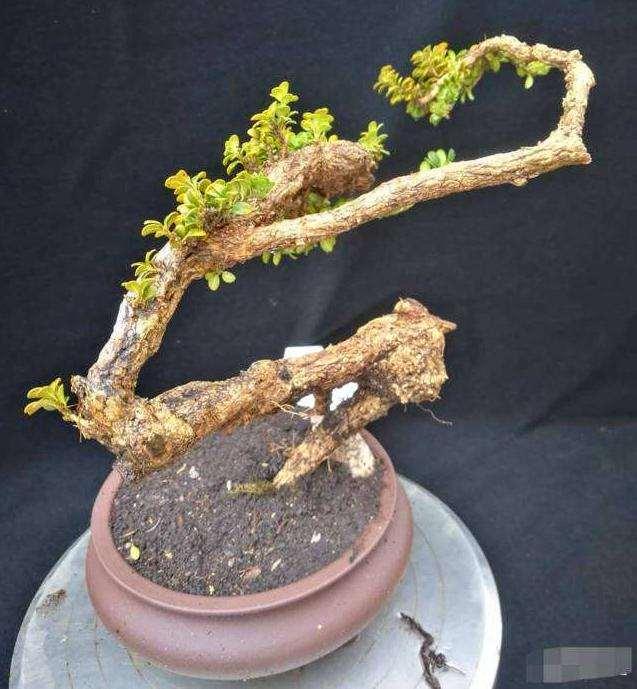 黄杨下山桩栽培时要注意什么