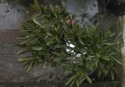 黄杨下山桩套袋发芽