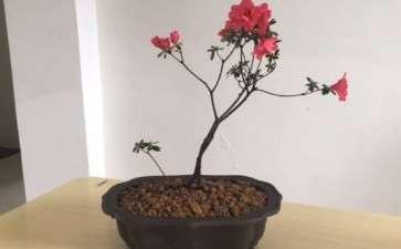 映山红盆景怎么施肥多开花的方法