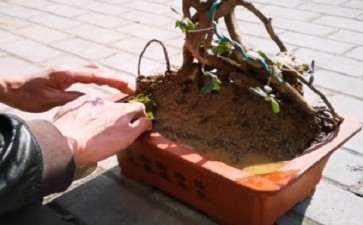映山红老桩盆景怎么提根造型的方法