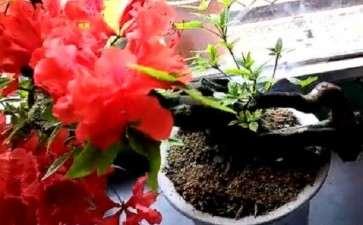 春季映山红盆景怎么施肥的方法