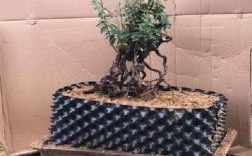 映山红下山桩怎么合适使用生根剂