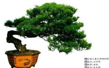 松树盆景怎么才能有神韵