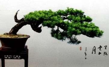 松树盆景怎么才能有骨韵