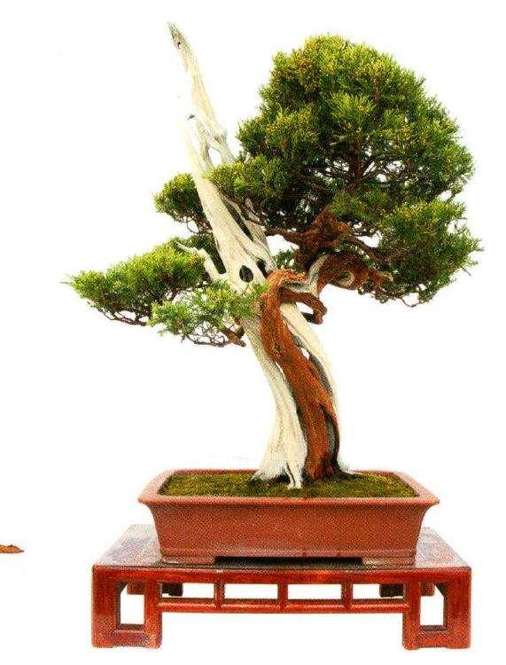 松树盆景怎么才能有气韵