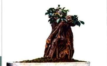 图解 榕树怎么制作附石盆景的4个步骤