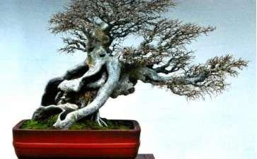 榆树盆景小叶病怎么办 用这3个方法