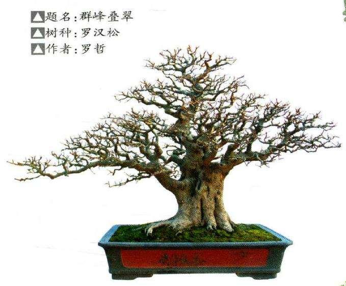 北海市南珠节罗汉松盆景展