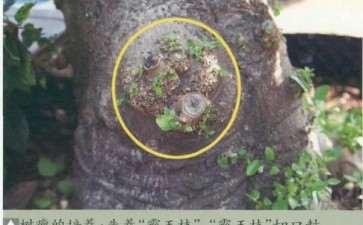 朴树盆景怎么病虫害防治的方法