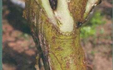 朴树盆景树皮怎么造老的方法