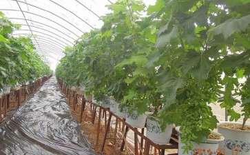 不同土壤含水量对葡萄盆栽根皮层的影响