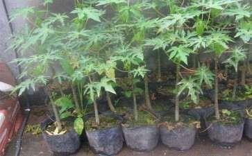 番木瓜疫病生防细菌的筛选及室内盆栽防效研究