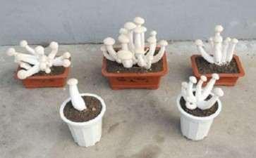 盆栽食用菌色彩怎么设计的3个原则