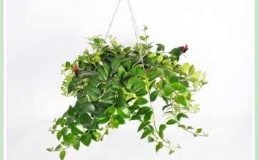 口红花盆栽怎么水肥管理的方法