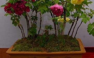 牡丹盆栽无土基质怎么配制的方法