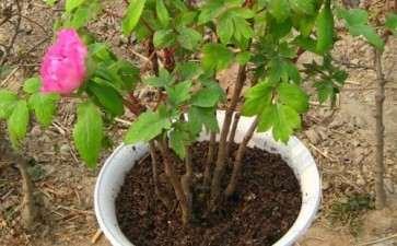 牡丹盆栽怎么整形修剪的方法