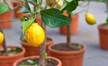 不同盆栽基质对香水柠檬长势影响