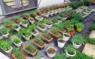 盆栽蔬菜成品怎么定植的方法
