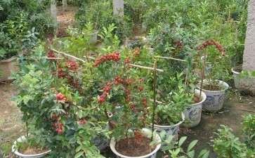 钙果盆栽怎么肥水管理的方法 图片