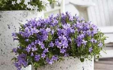 盆栽丹麦风铃草怎么肥水管理的2个方法