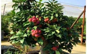 苹果盆栽怎么施肥浇水的方法