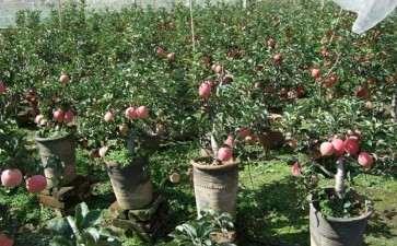 盆栽苹果怎么整形修剪的3个方法