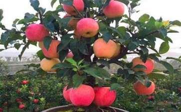 苹果盆栽怎么授粉套袋的方法