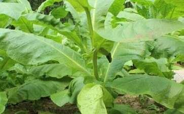 田间盆栽下复合盐对洛阳烟区烤烟生长的影响